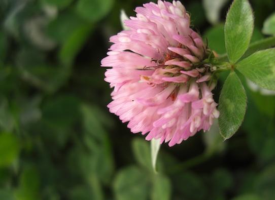 Ein blühender Rotklee. Aus diesen Pflanzen wird der Dünger gewonnen. Foto: grünerdüngen
