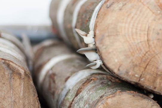 An den Baumstämmen wachsen die Pilze heran. Foto: Permagold/PR